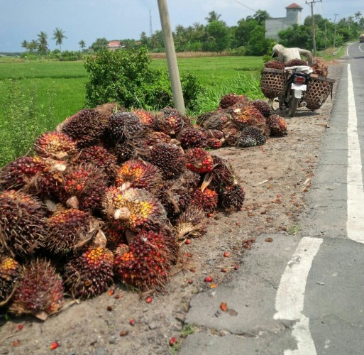 Petani Tidak Menikmati Kenaikan Harga Sawit