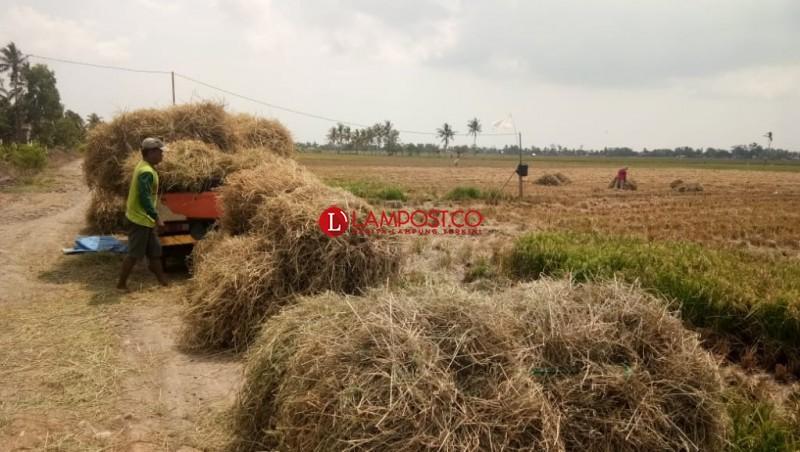 Peternak di Lampung Selatan Kesulitan Cari Pakan Rumput Segar