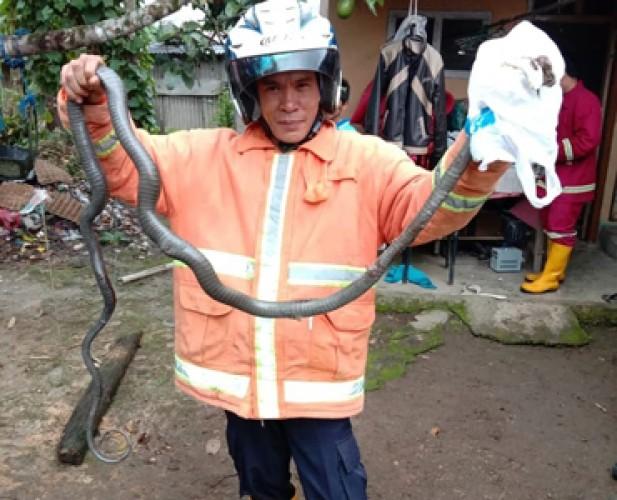 Petugas Damkar Lambar Tangkap Ular Kobra di Rumah Warga