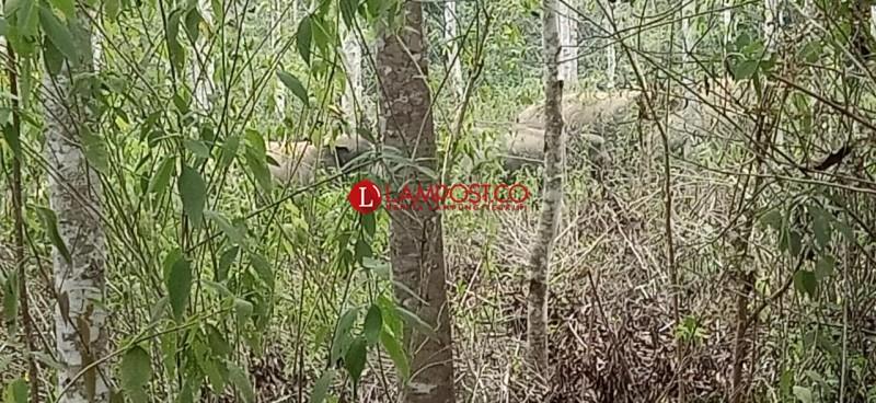 Petugas Pantau Pergerakan Kawanan Gajah di Suoh