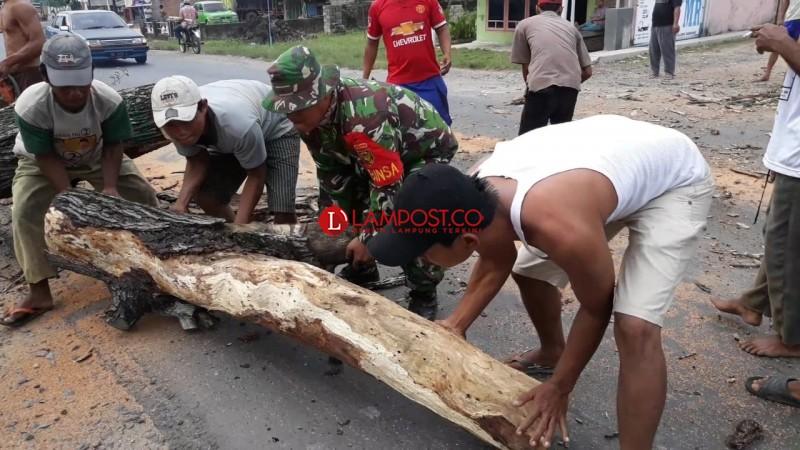Pohon Tua Tumbang di Jalan Lintas Timur Sumatera Tuba