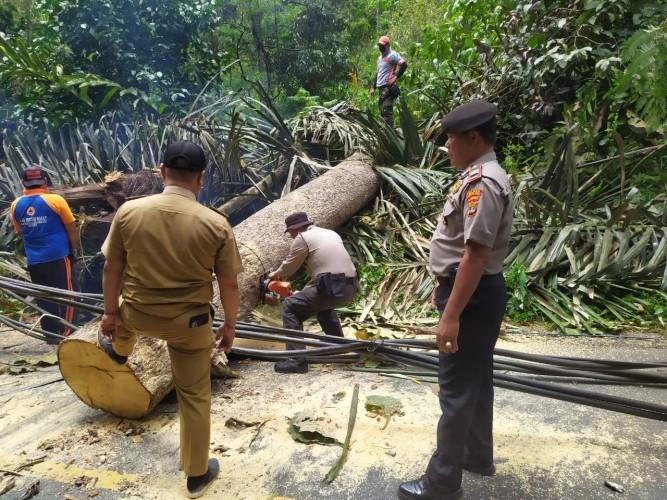 Pohon Tumbang di Jalan Lintas Liwa-Krui Dievakuasi