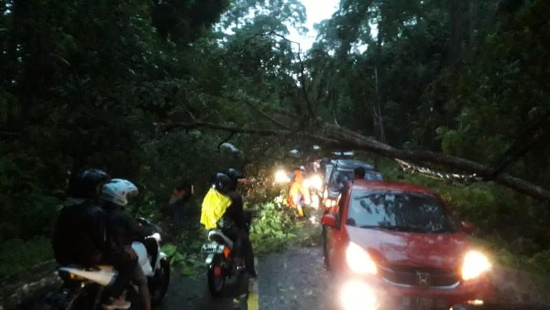Jalur Liwa - Krui Lumpuh akibat Pohon Tumbang