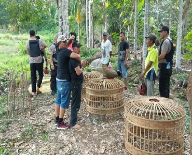 Polisi Ringkus Tiga Pelaku Sabung Ayam di Marambung