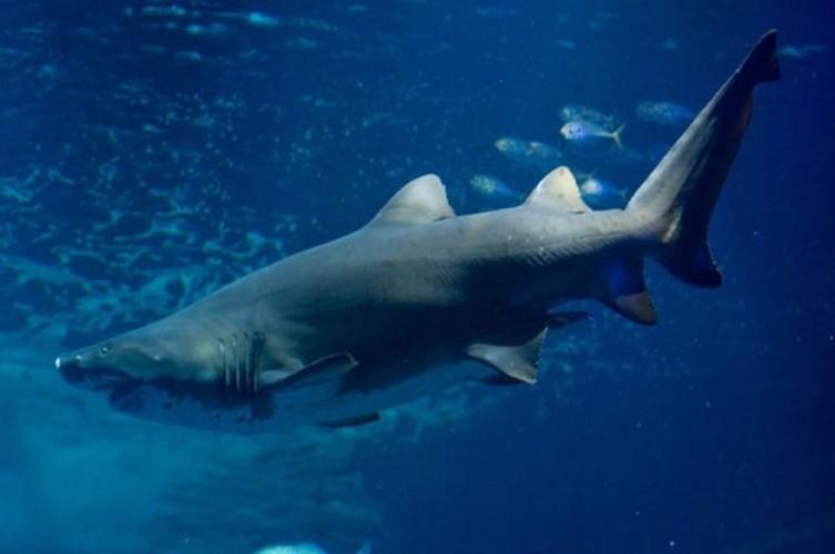 Pria Tewas Diserang Hiu saat Menangkap Ikan di Australia