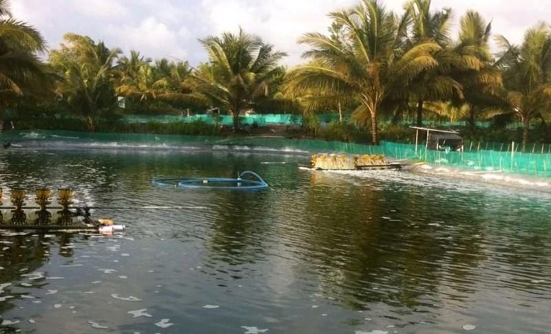 Produksi Udang di Lamsel Merosot saat Harga Naik