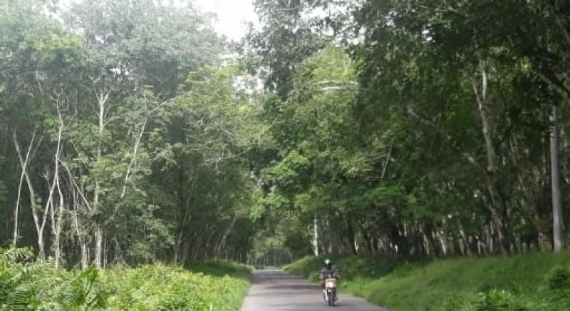 PT HIM Tanggung Jawab Merawat Pohon Karet di Exit Tol Menggala