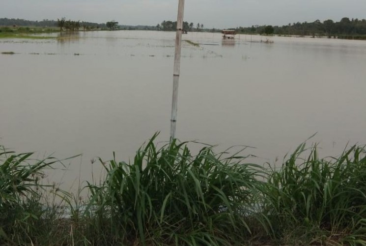 Puluhan Ha Tanaman Padi di Palas Terendam Banjir