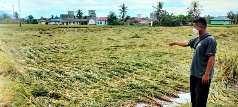Puluhan Hektare Padi di Sukapura Lamsel Roboh Diterpa Angin Kencang