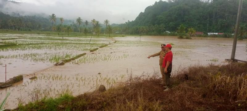 Puluhan Hektare Padi Petani di Pekon Hantatai Terendam Banjir