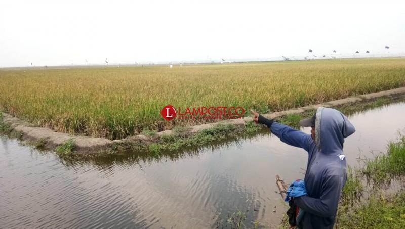 Puluhan Hektare Tanaman Padi di Bandanhurip Gagal Panen