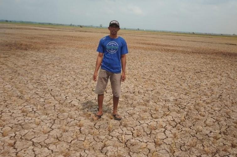 Puluhan Hektare Tanaman Padi di Bumiasri Puso Akibat Kekeringan
