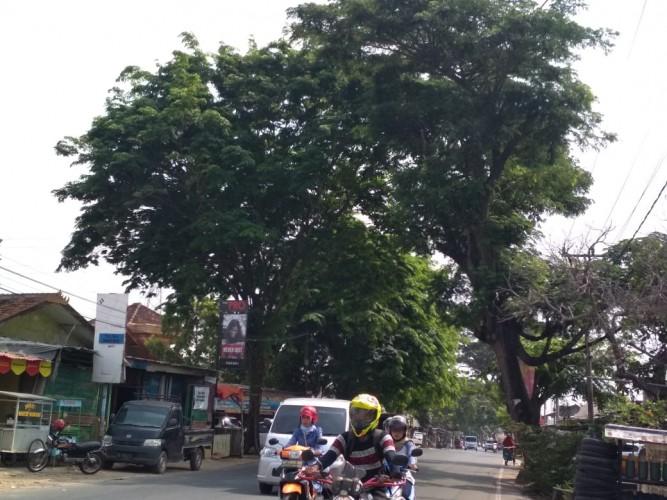 Puluhan Pohon di jalan Ratudibalau Membayakan Pengguna Jalan
