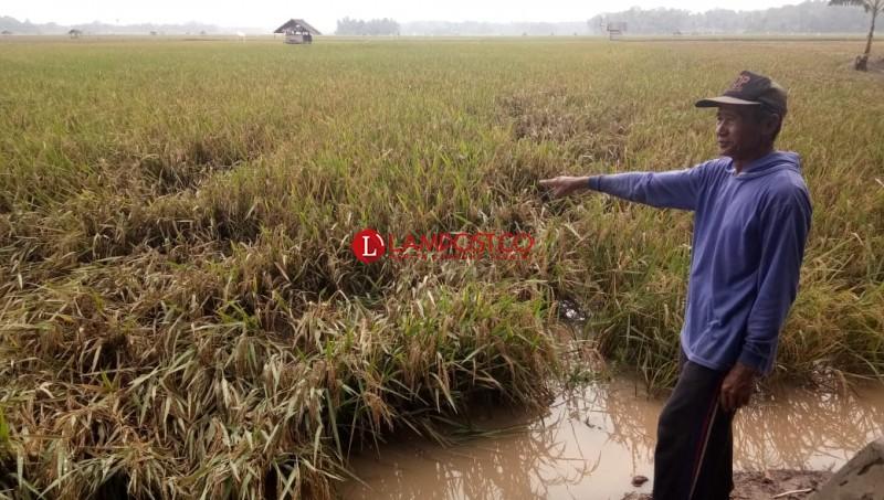 Pupusnya Harapan Pemanen Padi Usai Banjir Menerjang