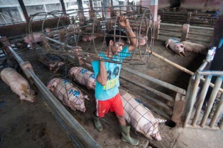 Ratusan Babi di Baliagung Palas Mati Mendadak