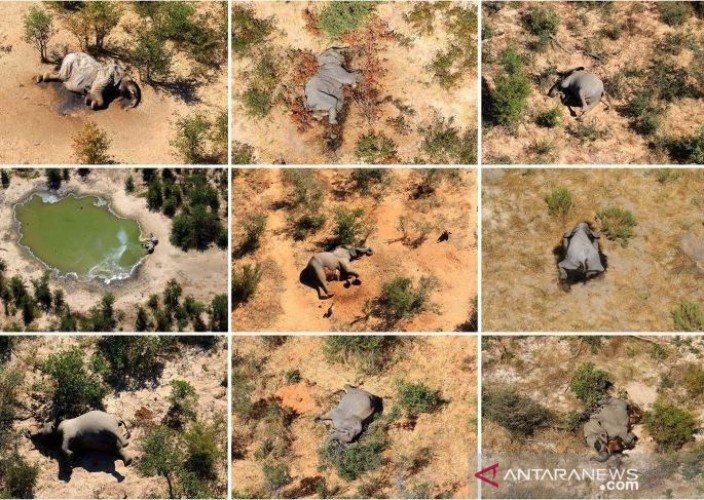 Ratusan Gajah Afrika Mati Secara Misterius