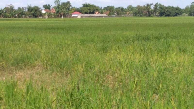 Ratusan Hektar Lahan Sawah Di Lampura Terancam Gagal Panen