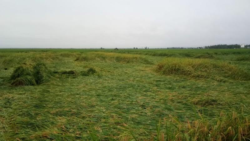 Ratusan Hektare Padi di Sragi Rusak Usai Diguyur Hujan