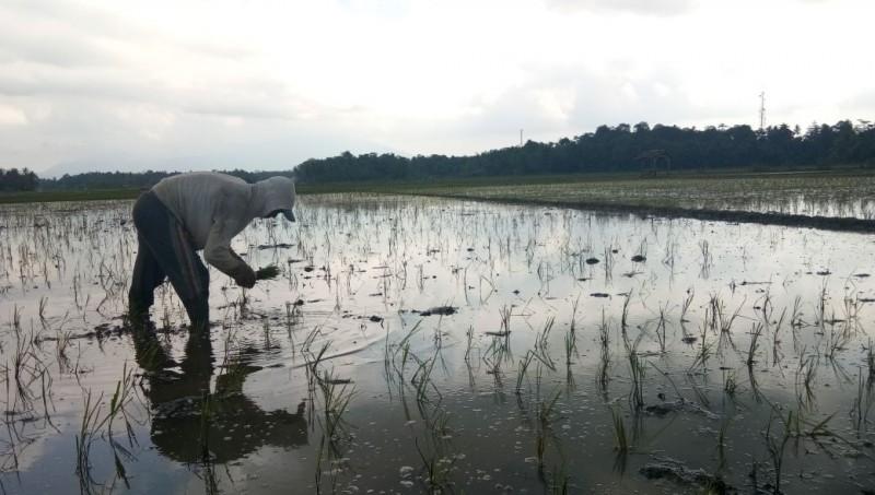 Ratusan Hektare Tanaman Padi Puso di Lamsel Tak Terasuransi