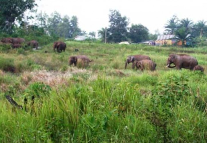 Seekor Gajah Liar Masuk ke Perkebunan Warga