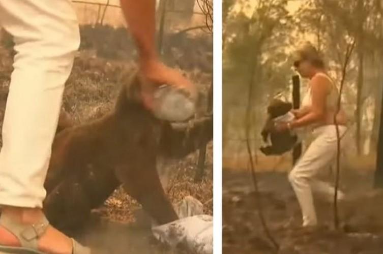 Selamatkan Koala