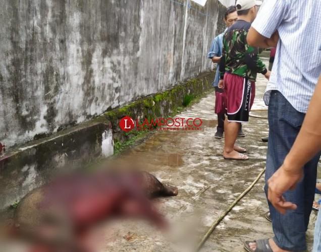 Seorang Warga Pematang Terluka Parah Diserang Babi Hutan
