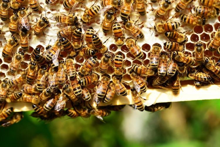 Seperti Ini Alur Lebah Menghasilkan Madu