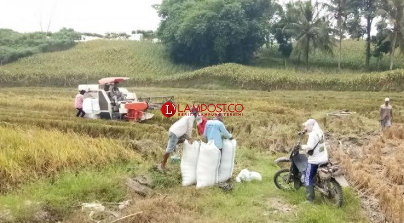 Serangan Hama Turunkan Hasil Produksi Padi di Baliagung