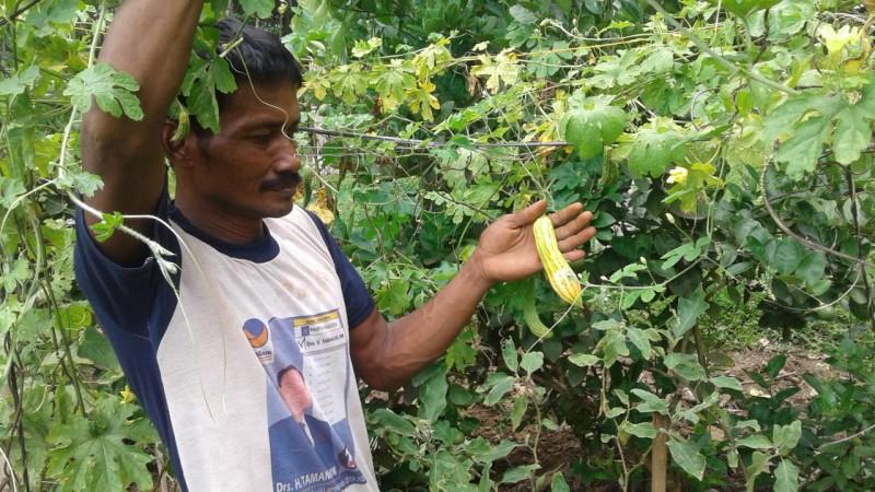 Serangan Walang Sangit Rusak Buah Pare Petani di Lampura