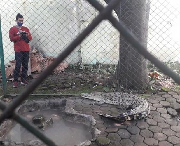 SKW III BKSDA Evakuasi Buaya Muara yang Masuk ke Kolam Pemancingan
