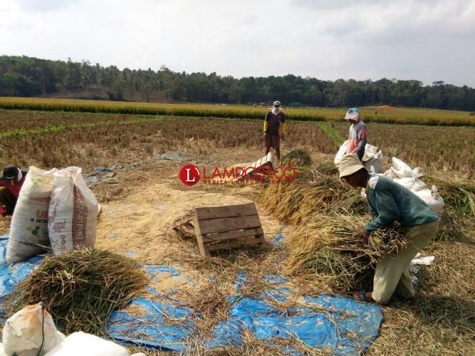 Takut Diserang Hama Lagi, Petani di Desa Sumbergede Panen Dini