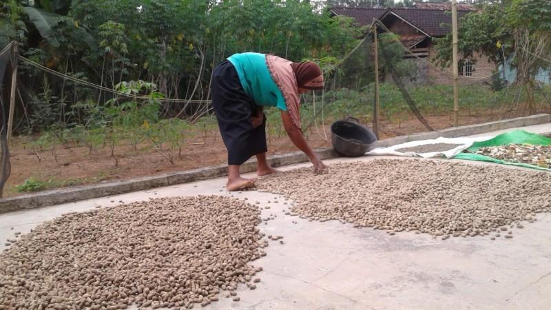 Tanam Kacang Tanah di Lampura Ditarget 500 Ha
