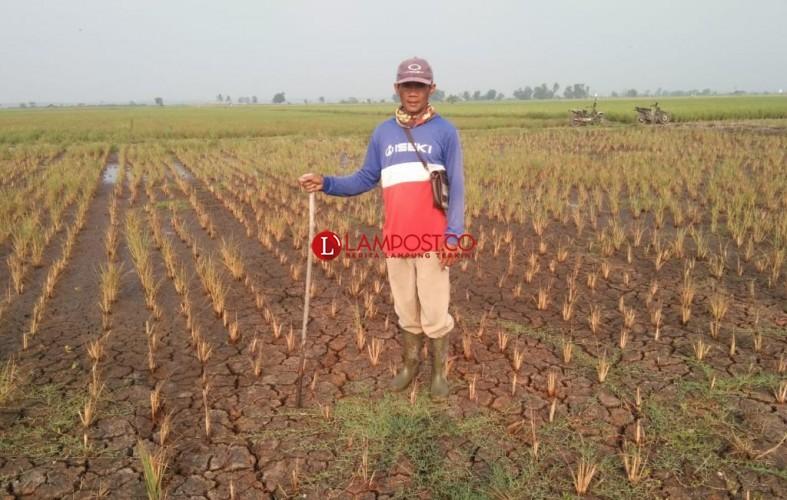 Tanaman Padi Puso di Palas Jadi 161 Hektare