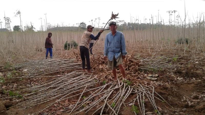 Tera Ulang untuk Lindungi Petani Singkong