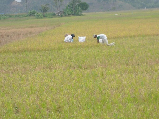 Terancam Gagal Panen, Petani Yang Punya Tanaman Padi Dibawah Satu Bulan Diimbau Daftar AUTP