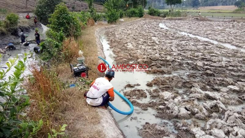 Tidak Ada Hujan, Petani Terpaksa Sedot Air Irigasi