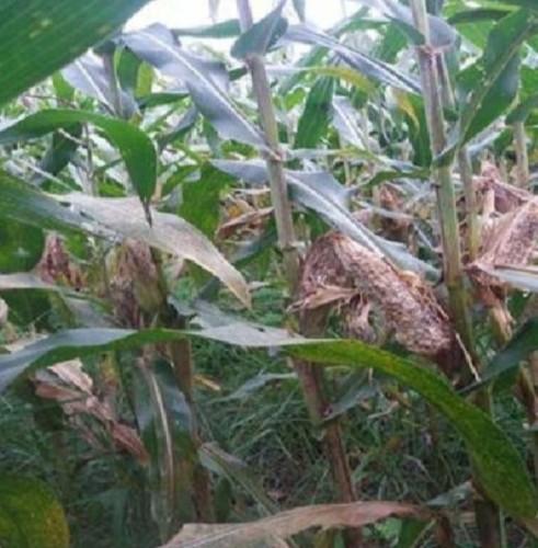 Tikus Terus Merusak Puluhan Hektare Kebun Jagung