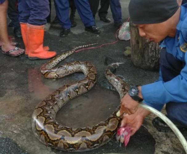 Ular Sepanjang 4 Meter Dievakuasi dari Gorong-gorong di Rajabasa