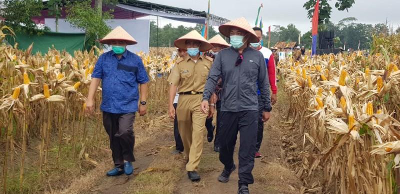 Umar Ahmad Panen Raya Jagung di Lahan Sawah Aplikasi Pupuk Kandang