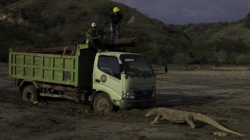 Viral Foto Komodo Mengadang Truk di Pulau Rinca Bukan Berarti Meradang