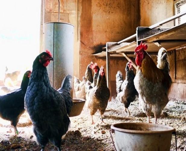 Warga Banten Diminta Waspadai Flu Burung