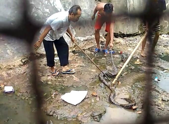 Warga Gulakgalik Digegerkan Penemuan Ular Piton Sepanjang 3 Meter