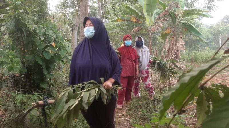 Warga Pulaupanggung di Lampung Utara Berburu Daun Sungkai