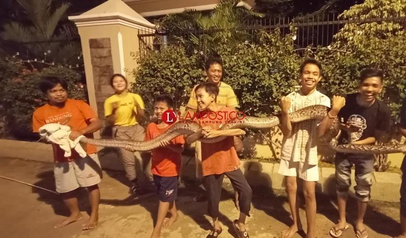 Warga Sepang Jaya Tangkap Ular Sanca Sepanjang 5 Meter