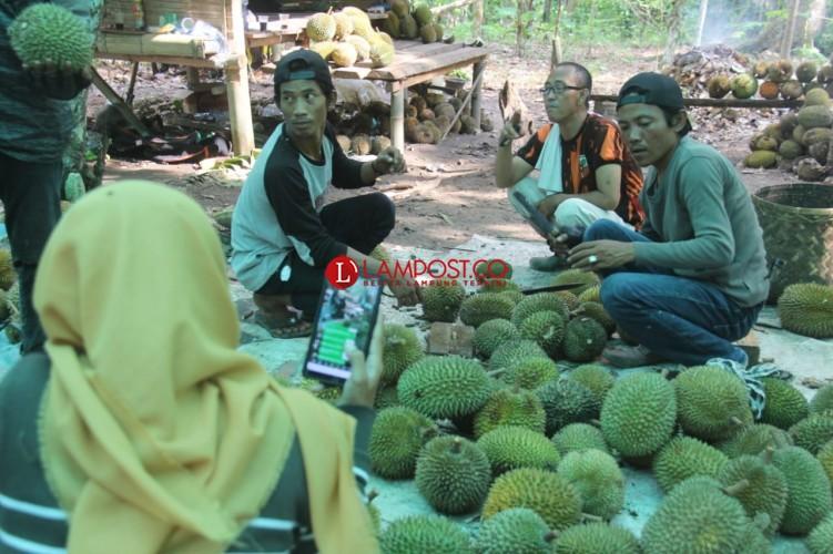Wisata Durian di Desa Suban Bisa Makan Sepuasnya  di Kebun