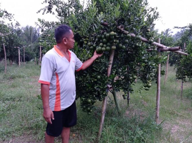 Wisata Kebun Jeruk di Desa Rulung Mulya Siap Dinikmati Pengunjung